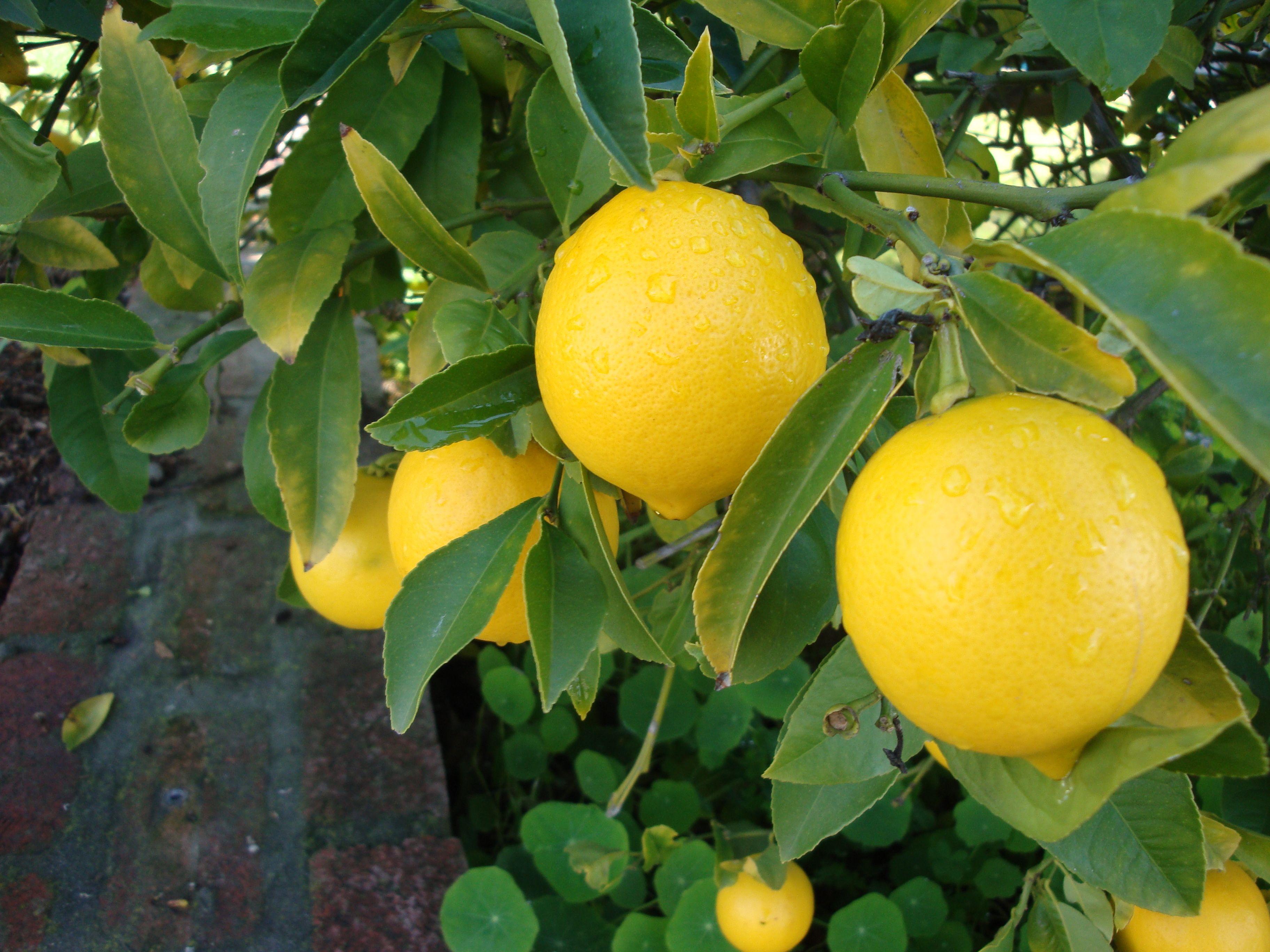 rare 5 lemon tree citrus seeds grow your own miniature tree next day shipping ebay. Black Bedroom Furniture Sets. Home Design Ideas